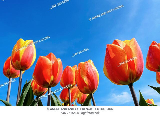 Red and yellow tulips, close up, with blue Dutch sky, North Holland, Netherlands