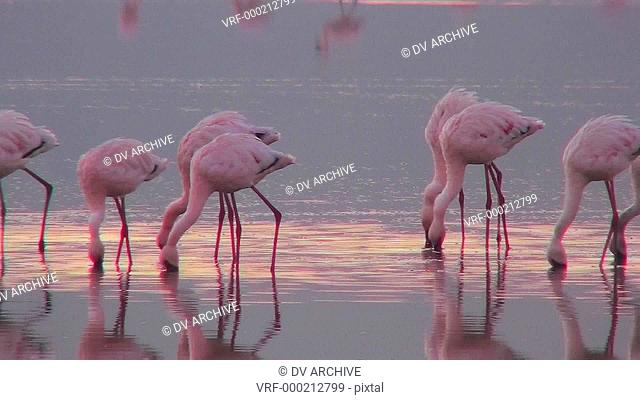 Beautiful footage of pink flamingos in early morning light on Lake Nakuru, Kenya