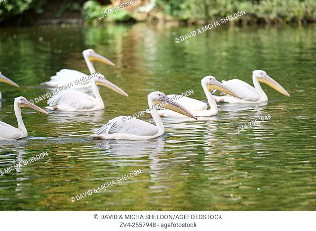 Close-up of great white pelican (Pelecanus onocrotalus) in late summer