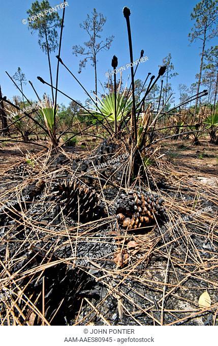 Pine Flatwoods habitat after fire, regrowth of Saw Palmettos (Serenoa repens) Highlands Hammock State Park, Florida, USA
