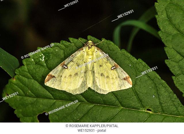 A brimstone moth is sitting on a leaf