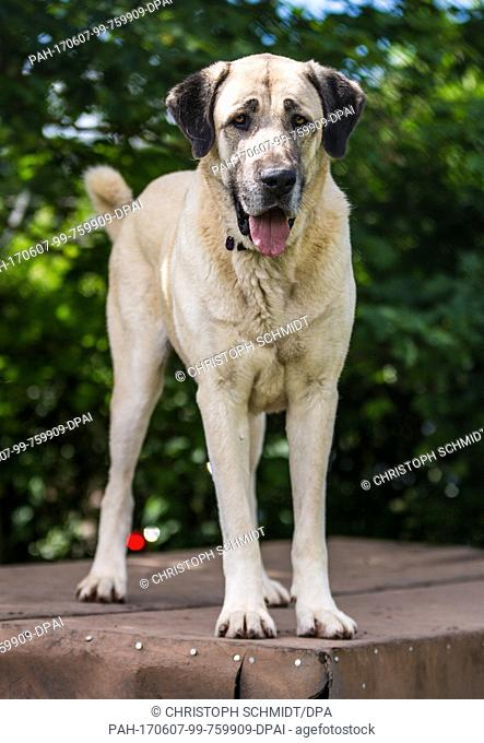 A Kangal dog in an animal shelter in Stuttgart, Germany, 7 June 2017. A Kangal killed a 72-year-old woman in the city on the 30 May 2017