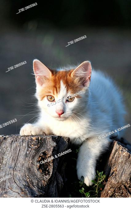 Portrait of a white and red kitten lying on a tree stub and looking at camera