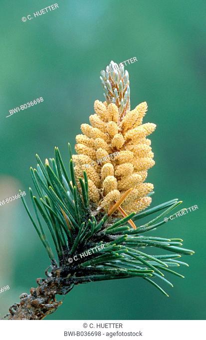 Mountain pine, Mugo pine (Pinus mugo), male inflorescences