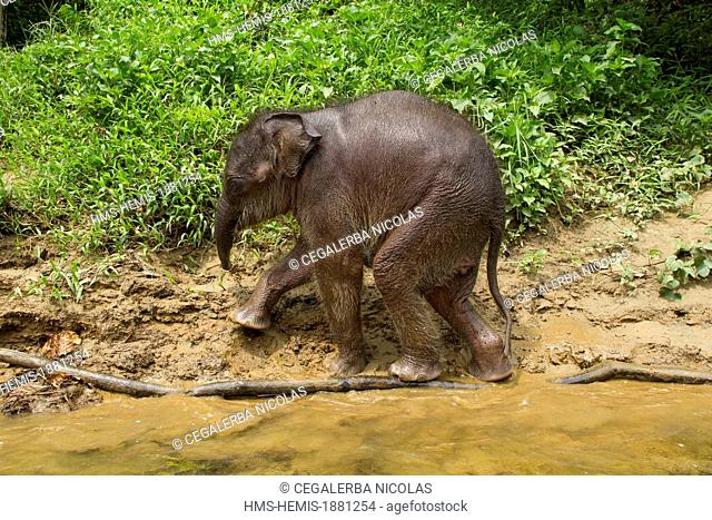 Indonesia, Sumatra Island, Aceh province, Sampoiniet, Baby elephant from Conservation Response Unit for the protection of Sumatran elephants running on the bank