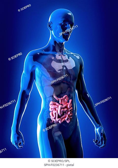 Illustration of the small intestine