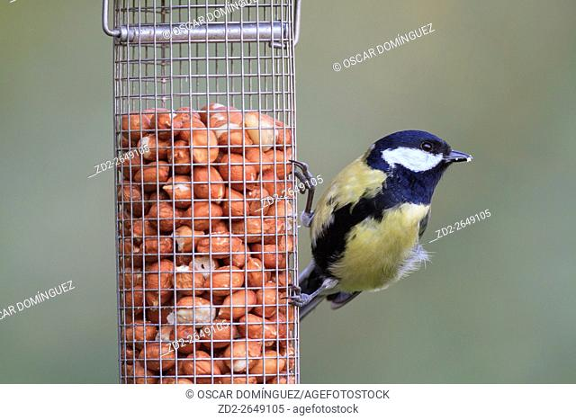Great Tit (Parus major) feeding from a bird feeder. Barcelona. Catalonia. Spain