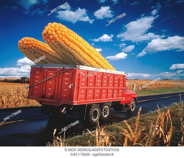 Farm truck hauling mind-boggling ears of corn