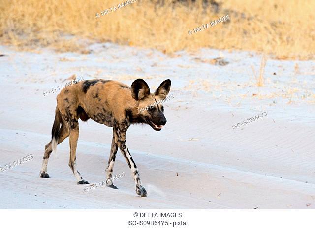 African wild dog (Lycaon pictus), walking, Savuti, Chobe National Park, Botswana, Africa