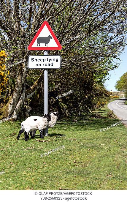 Scottish Blackface Sheep standing under a streetsign warning pf sheep on the street, Dartmoor National Park, Devon, England, UK