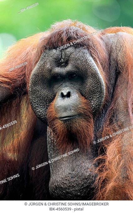 Orang Utan (Pongo pygmaeus), adult male on tree portrait, captive, occurrence Borneo