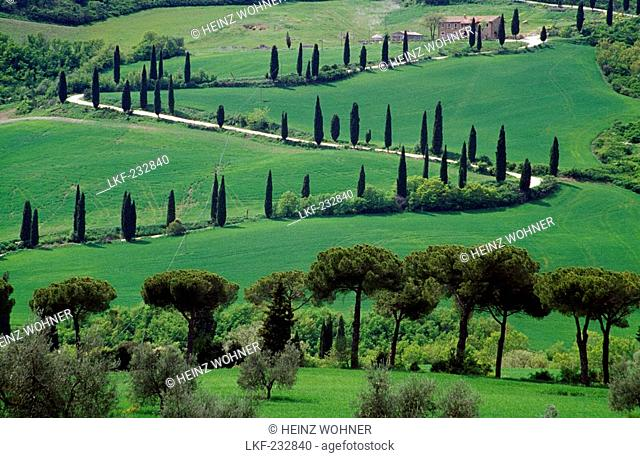 Serpentine road with cypresses, Val d'Orcia, Tuscany, Italy, Europe