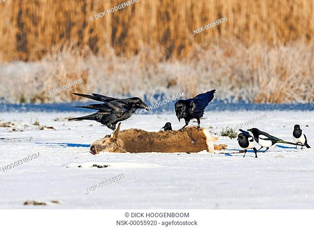 Common Raven (Corvus corax) and Magpie (Pica pica) on Roe Deer (Capreolus capreolus), Germany, Mecklenburg-Vorpommern