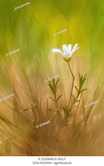 Große Sternmiere Stellaria holostea, Wiese, Deutschland, Addersmeat, meadows, Germany