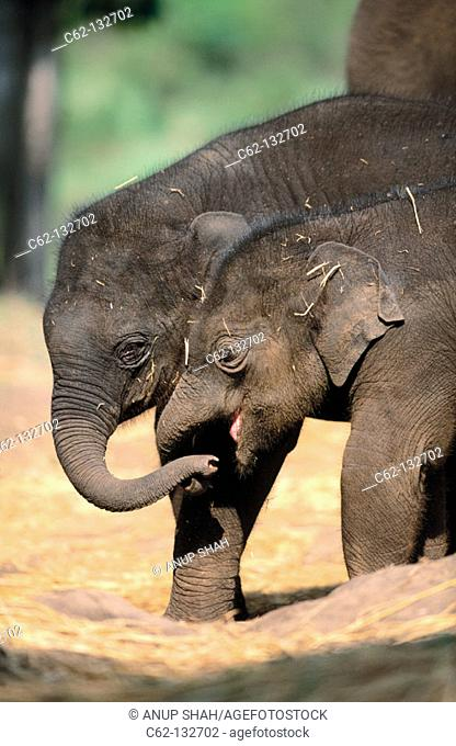 Indian Elephants (Elephas maximus)