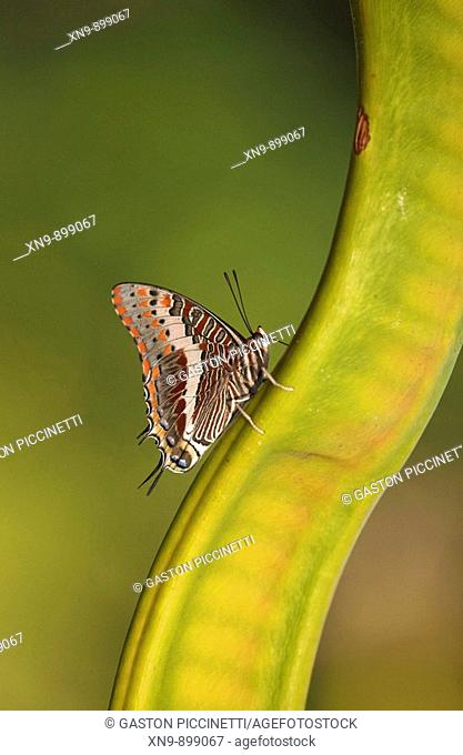 Foxy charaxes  (Charaxes jasius), resting on Acacia seed, Namibia