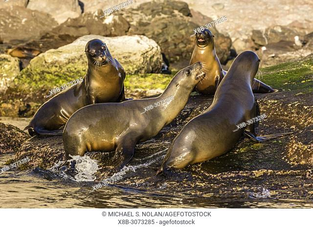 Young California sea lions, Zalophus californianus, mock fighting, Isla San Pedro Martir, Baja California, Mexico