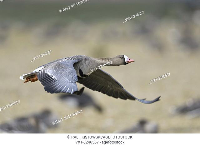 Greater White-fronted Goose / Blaessgans ( Anser albifrons ), in flight, taking off from a resting flock of geese feeding on a field, wildlife, Europe