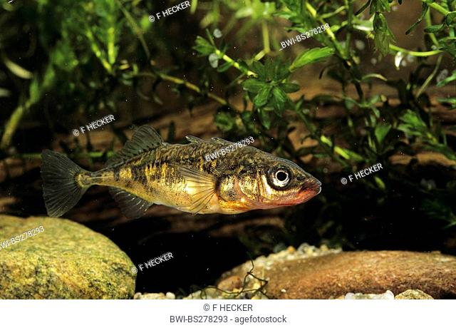 three-spined stickleback Gasterosteus aculeatus, Germany