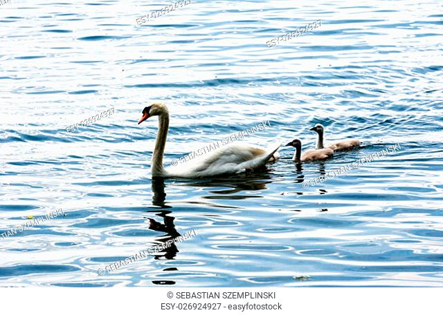 Family of mute swans on wavy water, with one adult leading two young cygnets