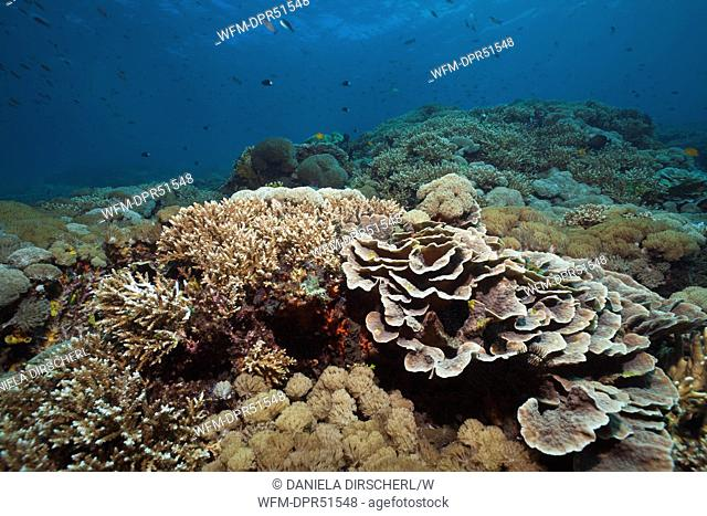 Healthy Reef of Hard Corals, Nusa Penida, Bali, Indonesia