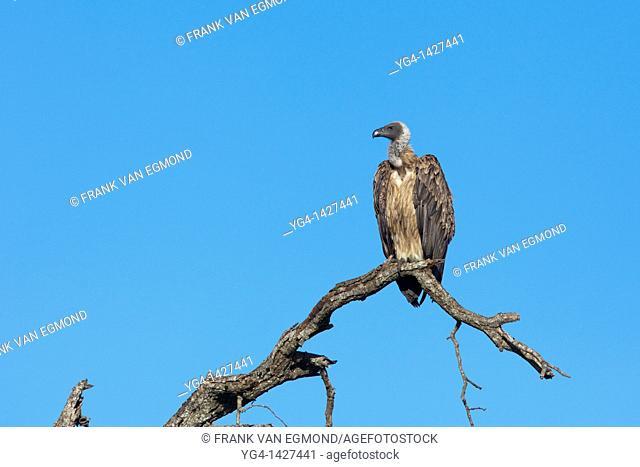 White-backed vulture Gyps Africanus   Hluhluwe Imfolozi Game Reserve  Kwazulu-Natal, South Africa  November 2010