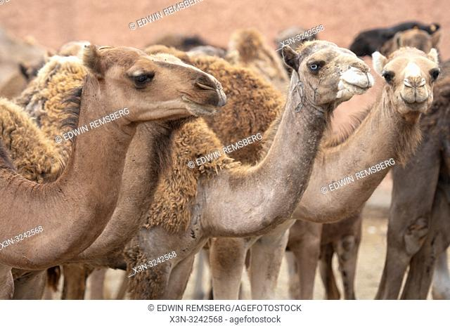 Herds of camels (Camelus) awaiting sale at the Guelmim camel market, Guelmim, Guelmim province, Morocco
