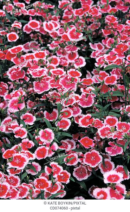 Carnation (Dianthus 'Flora lace picotee')
