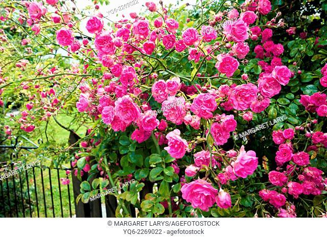Beautiful pink climbing roses, Scotland