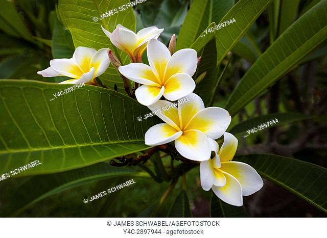 Close up of Plumeria or frangipani white & yellow blossoms on tree in Florida