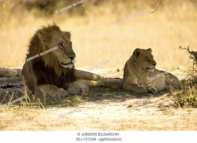 lion and linoess - lying in the shadow / Panthera leo