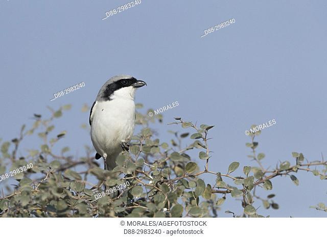 Asia, India, Rajasthan, Bikaner, Southern grey shrike (Lanius meridionalis), perched on a bush