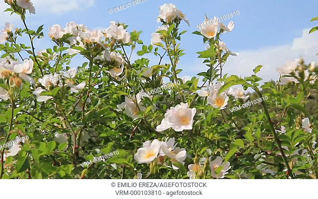 Dog rose. Rosa canina. Lleida, Catalonia, Spain