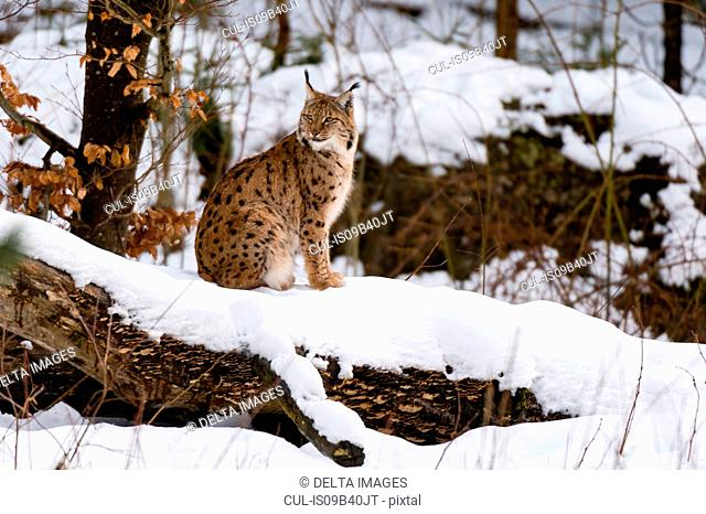 European lynx (Lynx linx), Bavarian Forest National Park, Bavaria, Germany