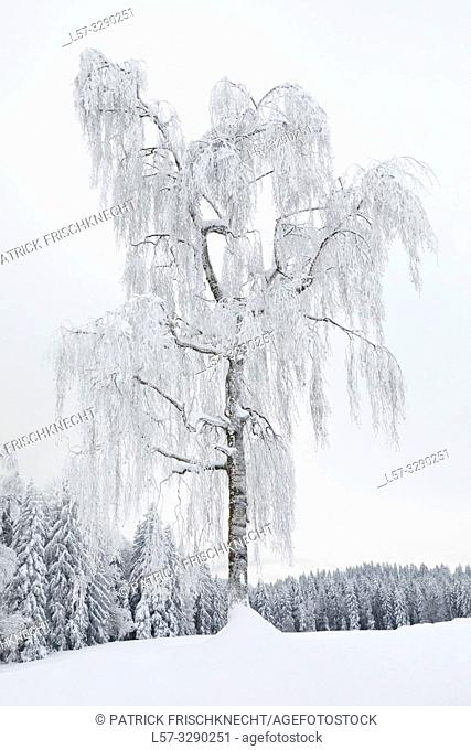 birch tree covered in hoarfrost, Switzerland