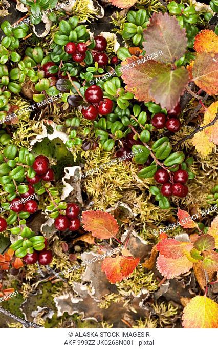 Close up of Low Bush cranberry and Dwarf Birch provide colors to the alpine tundra, Denali National Park & Preserve, Interior Alaska, Autumn