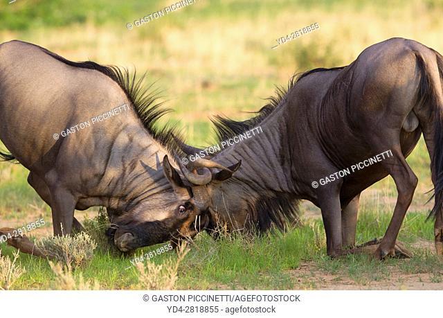 Blue wildebeest (Connochaetes taurinus), fighting, Kgalagadi Transfrontier Park, Kalahari desert, South Africa/Botswana