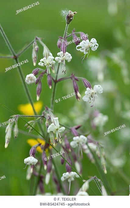 nottingham catchfly (Silene nutans), blooming, Germany