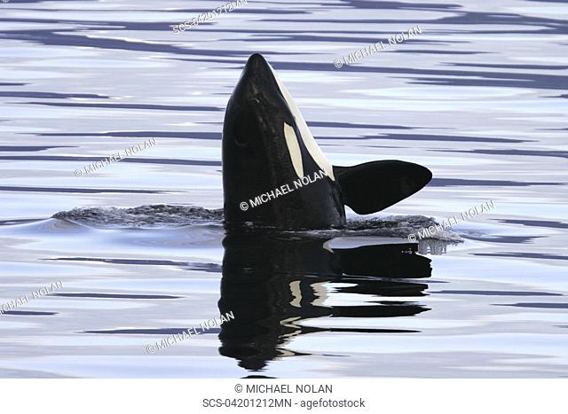 Young Orca Orcinus orca spy-hopping in Chatham Strait, southeast Alaska, USA