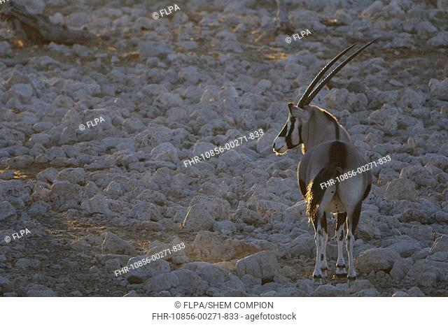 Gemsbok Oryx gazella adult, standing in dry riverbed, backlit at sunset, Etosha N P , Kunene, Namibia