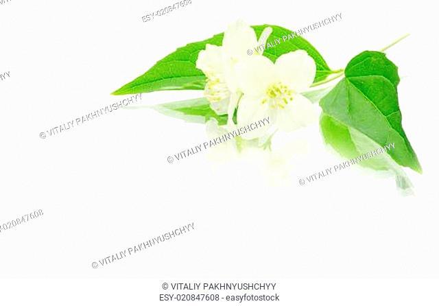 jasmine on white