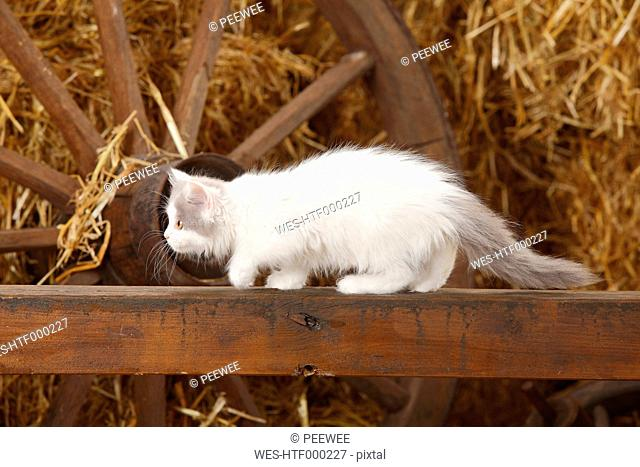 British Longhair, kitten, creeping up on a wooden slat in a barn