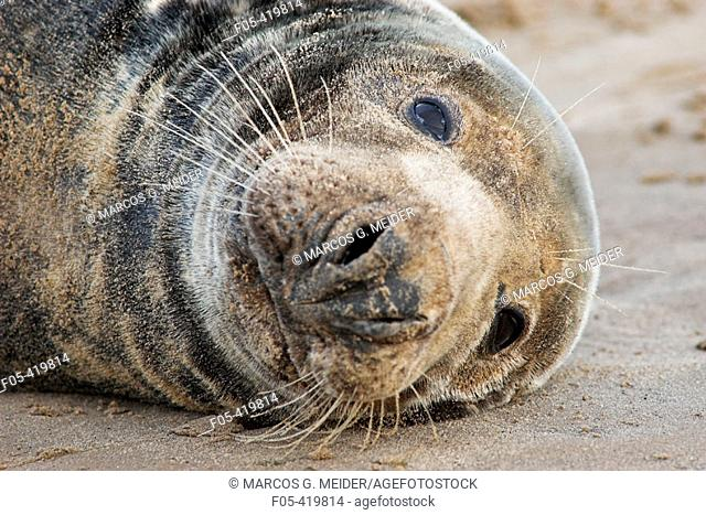 Grey Seal (Halichoerus grypus), male resting on sand. Donna Nook National Nature Reserve, England. UK