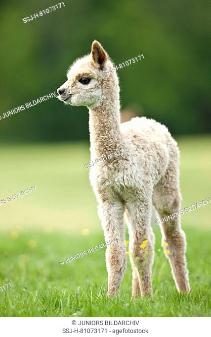 Alpaca (Vicugna pacos). Cria standing on a meadow. Germany