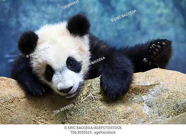Playfull giant Panda cub (Ailuropoda melanoleuca) investigating its enclosure, climbing over a rock. Yuan Meng, first giant panda ever born in France
