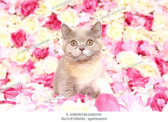British Shorthair Cat. Kitten sitting among rose flowers. Studio picture. Germany