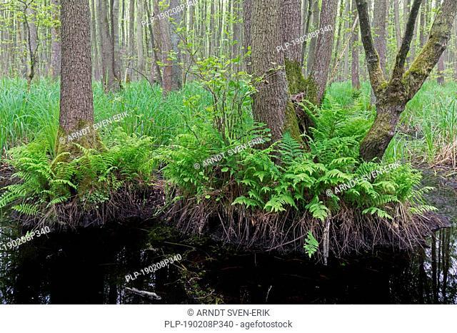 Alder carr showing European alder / black alder trees (Alnus glutinosa) in spring, Saxony-Anhalt, Germany