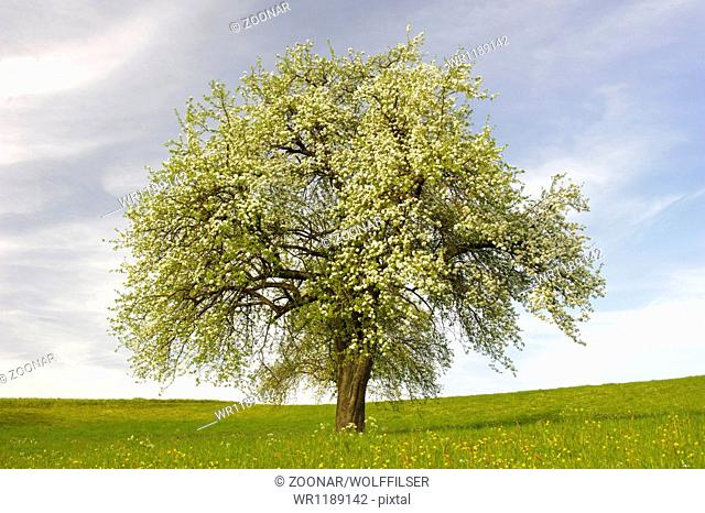 single big apple tree on meadow