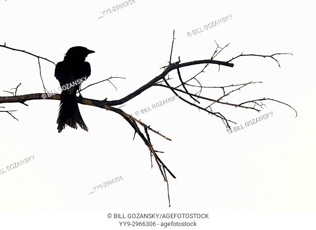 Fork-tailed Drongo silhouette at Tamboti Luxury Campsite, Onguma Game Reserve, Namibia, Africa