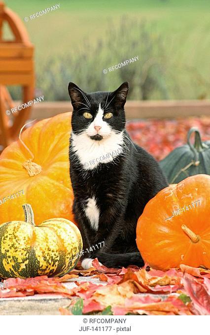 domestic cat - sitting between pumpkins